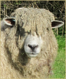 The Cotswold Lion: Explore the amazing story of why the Cotswold sheep became known as the Cotswold Lion.